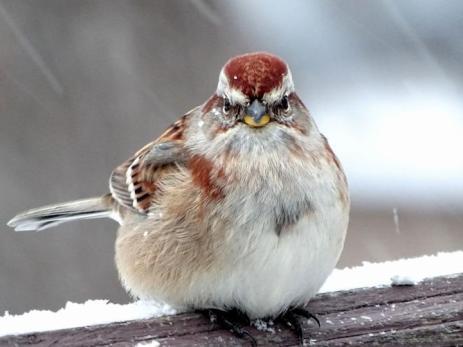 American Tree Sparrow (1a)
