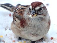 American Tree Sparrow (2a)