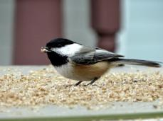 Black-capped Chickadee (1a)