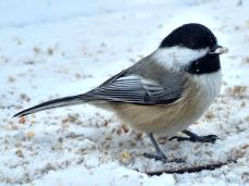 Black-capped Chickadee (2a)