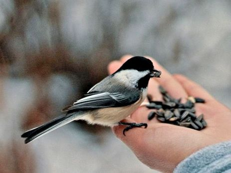 Black-capped Chickadee (3)