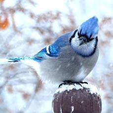 Blue Jay (1a)