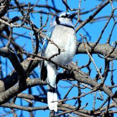 Blue Jay (2a)