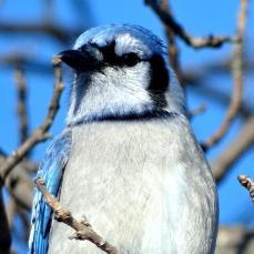 Blue Jay (3a)
