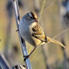 Chipping Sparrow (1a)