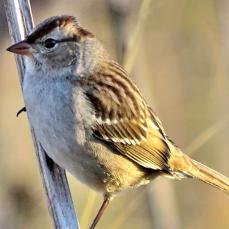 Chipping Sparrow (2a)