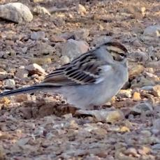 Chipping Sparrow (3a)