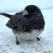 Dark-eyed Junco (1a)
