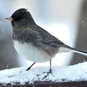 Dark-eyed Junco (2a)