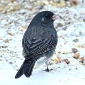 Dark-eyed Junco (3a)
