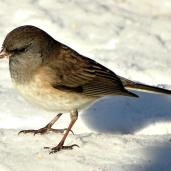 Dark-eyed Junco (4a)
