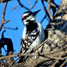 Downy Woodpecker (1a)