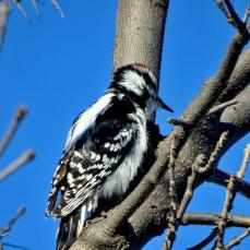 Downy Woodpecker (2a)