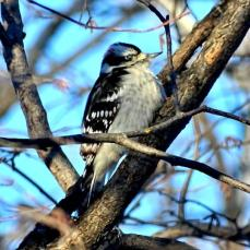 Downy Woodpecker (3a)