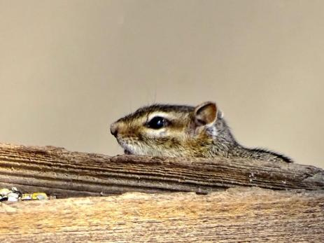 Eastern Chipmunk (1a)
