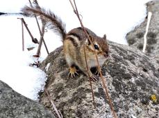 Eastern Chipmunk (2a)