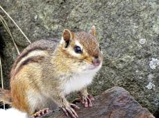 Eastern Chipmunk (3a)