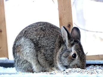 Eastern Cottontail (1a)