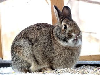 Eastern Cottontail (2a)