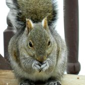 Eastern Gray Squirrel (2)