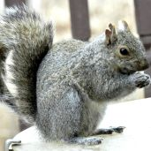 Eastern Gray Squirrel (3)
