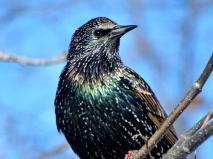 European Starling (2a)