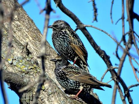 European Starlings a