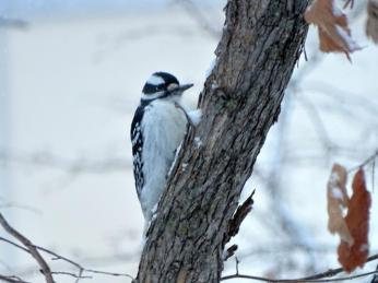 Hairy Woodpecker (1a)