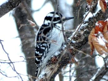 Hairy Woodpecker (2a)