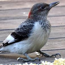 Juvenile Red-headed Woodpecker (1a)