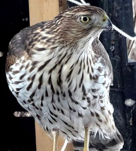 Juvenile Sharp-shinned Hawk (1a)