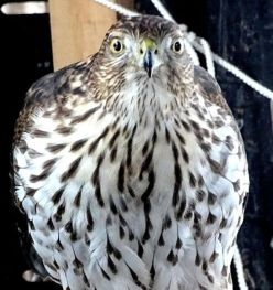 Juvenile Sharp-shinned Hawk (2a)