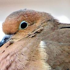 Mourning Dove (1a)