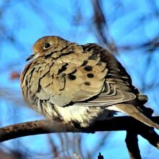 Mourning Dove (2a)
