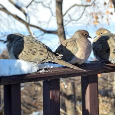 Mourning Doves a