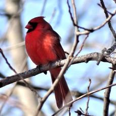 Northern Cardinal - male (3a)
