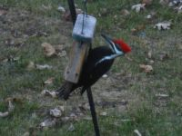 Pileated Woodpecker (1)