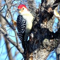 Red-bellied Woodpecker (1a)