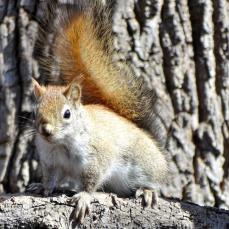 Red Squirrel (1a)
