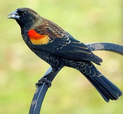 Red-winged Blackbird (1a)