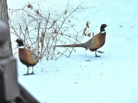 Ring-necked Pheasant (1)
