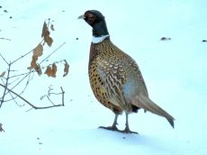 Ring-necked Pheasant (2)