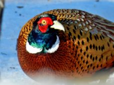 Ring-necked Pheasant (4)