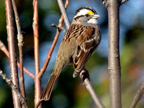 White-throated Sparrow (1a)