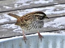 White-throated Sparrow (2a)