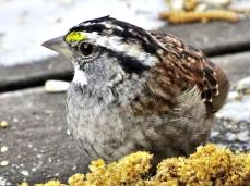 White-throated Sparrow (3a)