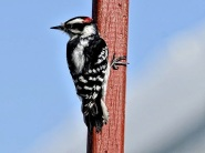 Woodpecker on vertical surface